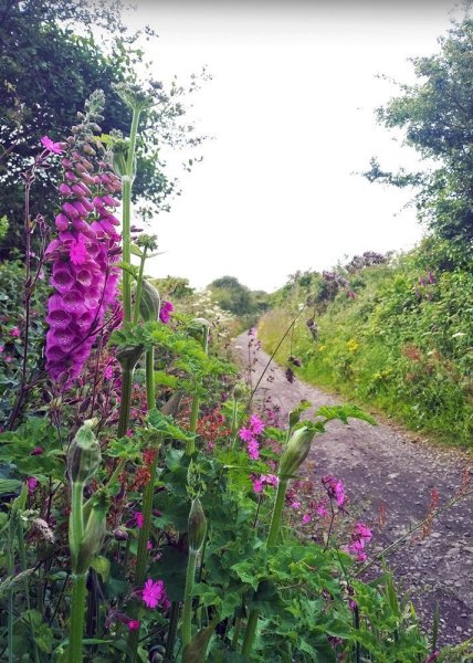 Foxgloves and red campions light up the hedgerows, Cornwall, UK, June 2019.