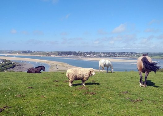 Padstow, The Saints' Way. Horses and sheep on a hill overlooking the Camel Estuary