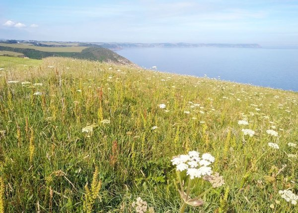 View out to sea across a field of wild flowers, near Veryan, Cornwall