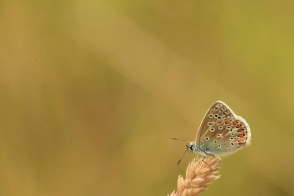Common blue butterfly photographed at Watersmeet, Exmoor, Copyright Kim Gentle-Boon, 2019 (Cornwall UK)