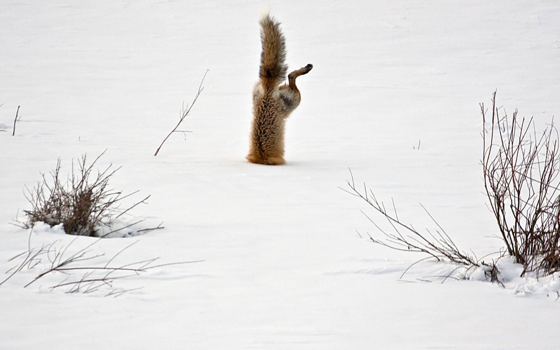 Red Fox Catching Mouse Under Snow National Geographic