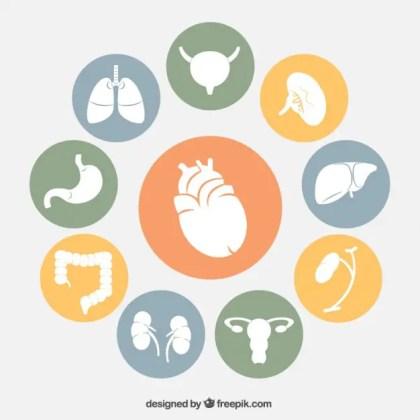 Human Organs Icons Free Vector