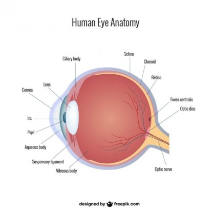 Eye Anatomy Free Vector