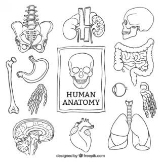 Sketchy Human Anatomy Free Vector