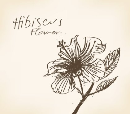 Hibiscus Flower Drawing Free Vector