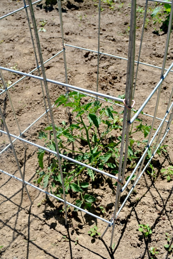 DIY tomato cage that holds up to the elements and tomato growth