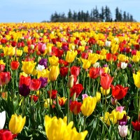 Tulips bulbs should be planted in Fall in order to have a beautiful showing in Spring