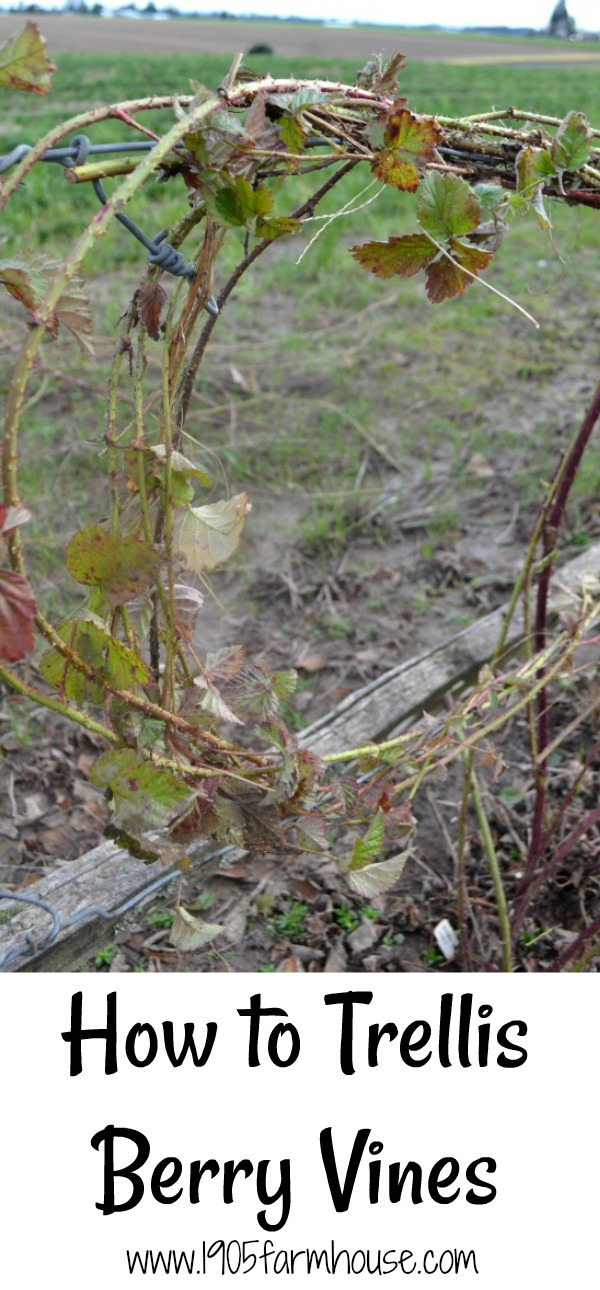 How to trellis berry vines in early spring for beautiful and bountiful berries in the summer