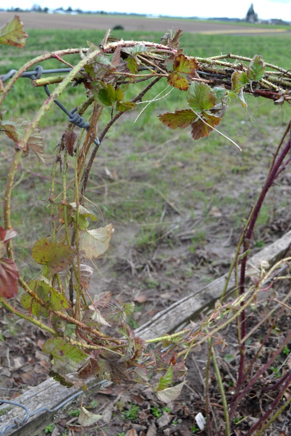Trellised berry vines ready for spring and summer growth