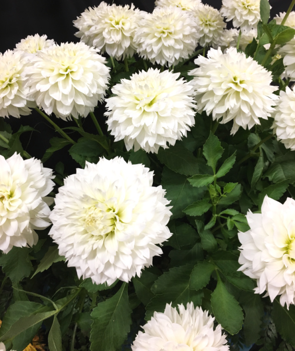 A close up of a bunch of white dahlia flowers with dark green leaves