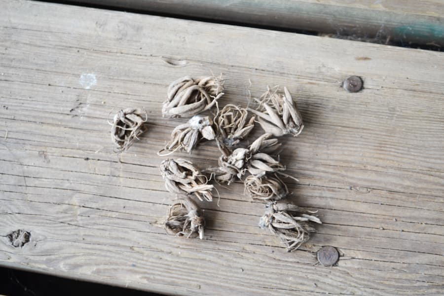 A close up of dried ranunculus corms sitting on a brown wood deck
