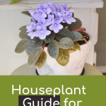 A purple African violet in a white pot with text overlay