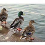 Zu Weihnachten: Fußmatte mit schönem Naturmotiv – 3 Enten am Wasser ein prima Geschenk