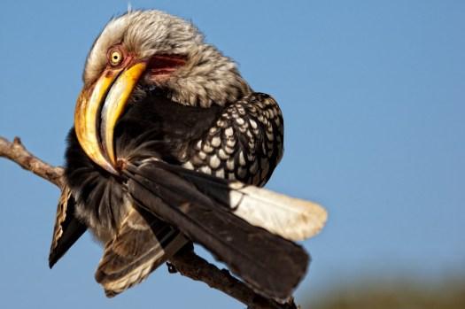 Hornbills itfch