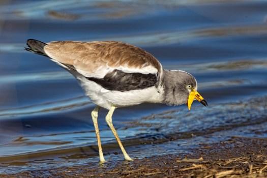 Lapwing, or some bird.....
