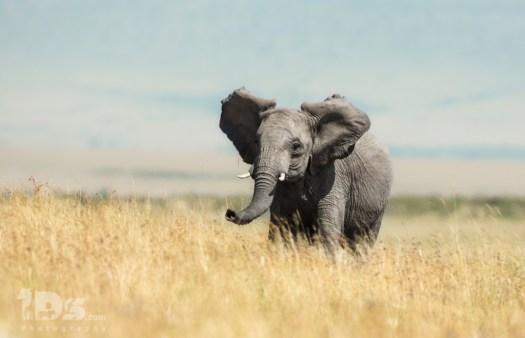 Masaai Mara Elephant Angry