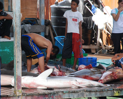 Shark finning in Mabul. From http://wetpixel.com/forums/index.php?showtopic=28365
