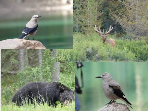 Un aperçu des animaux du parc national de Banff