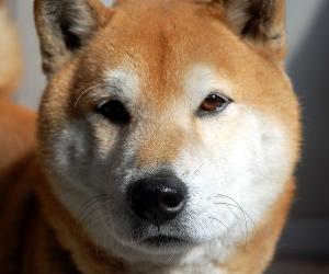 柴犬 茶色