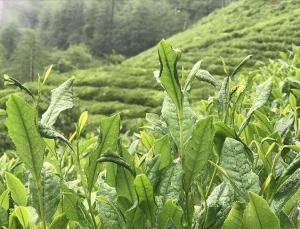 ÇAYKUR yaş çay alım kapasitesini artırmayı planlıyor