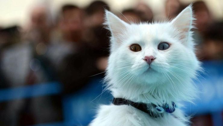 26 farklı ırktan, 4 binden fazla kedi araştırıldı: en saldırganı van kedisi