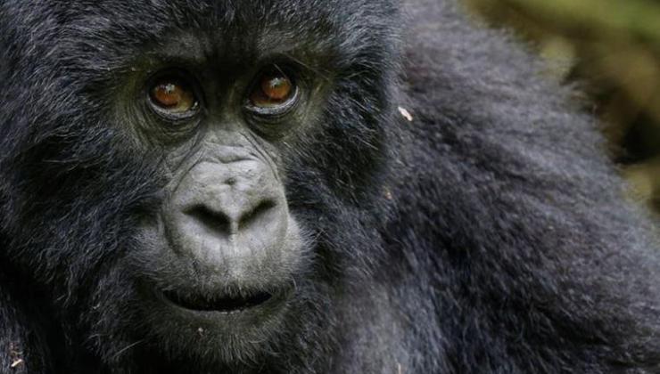 abd'de koronavirüslü gorillere 'hayvanlara özel covid-19 aşısı' yapılacak