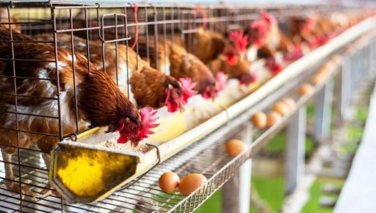 hollanda çiftlik hayvanlarının sayısını yüzde 30 azaltmayı planlıyor