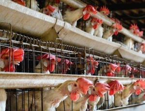 kafessiz türkiye'den yumurta takip raporu: tüketiciler eziyetin bitmesini isterken tavukların refahı için söz veren marka sayısı artıyor