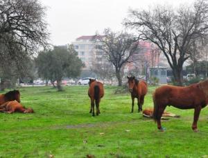 yılkı atlarını et firmasına verenin tarım bakanlığı olduğu ortaya çıktı