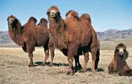 Rêver de chameau