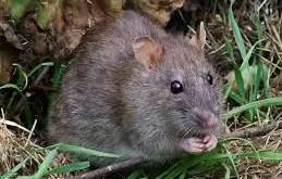 Rêver de rat