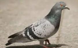 Rêver de pigeon