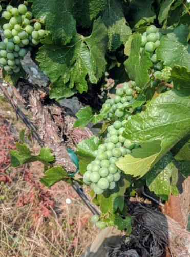 Troon vineyard 2