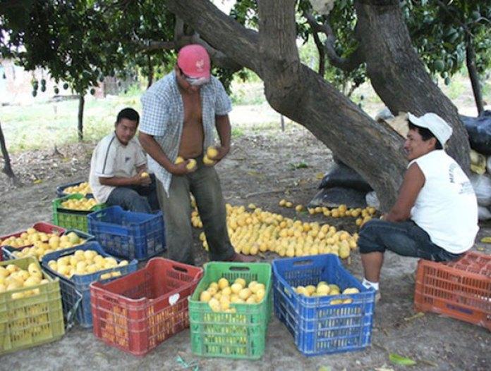 Altas temperaturas afectan al desarrollo del mango en Escuinapa - 2000Agro  Revista Industrial del Campo