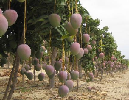 Resultado de imagen de escuinapa mango
