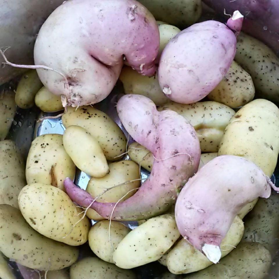 Süßkartoffeln und Kartoffeln vom Weltacker