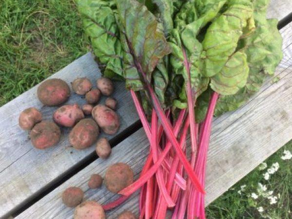 Mangold- und Kartoffel-Ernte