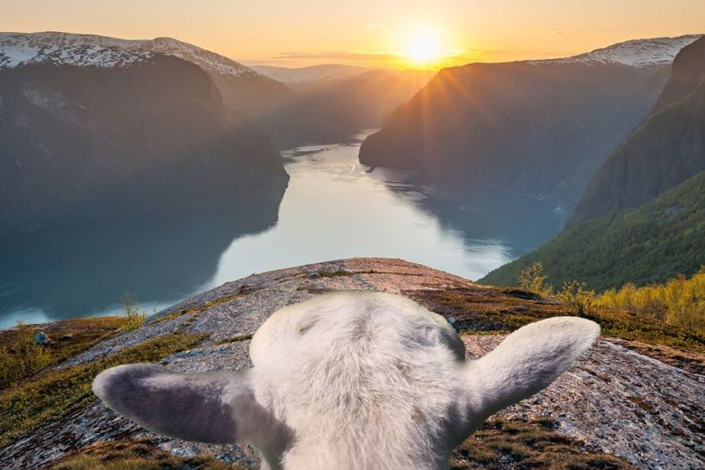 Sheep with a view – the cute woolly guides of Norway