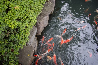 "Carp, or ""koi"" in the small stream that runs through Senso-ji."
