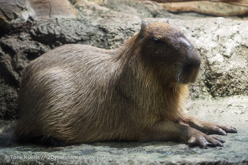 The capybara. They are surprisingly huge. Like, 70kg huge