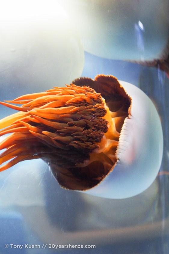 Jelly fish 09