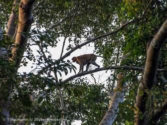 Proboscis monkey with baby