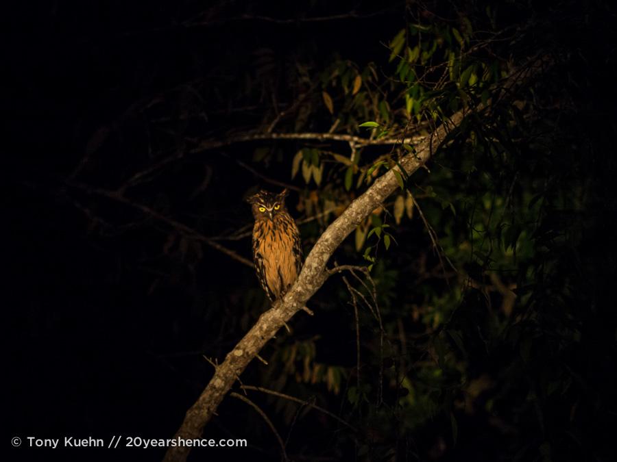 Night owl in Borneo
