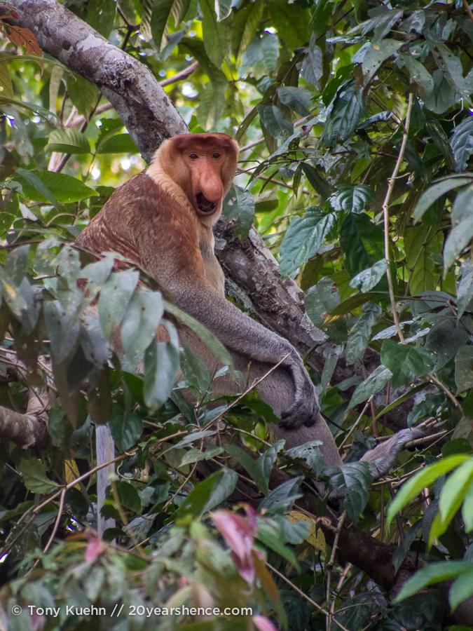 Wild proboscis monkey in Borneo