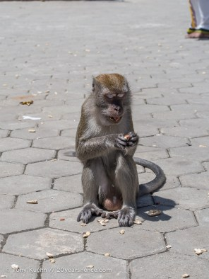 Scavenger Monkey at Batu Caves