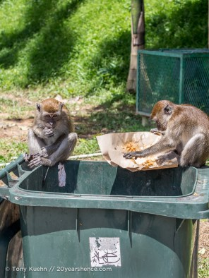 Monkeys eating garbage at the Batu Caves
