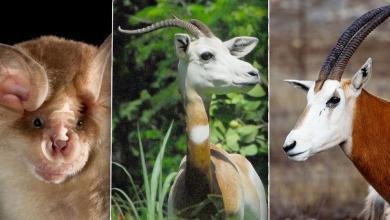 الحيوانات المهددة بالانقراض في ليبيا (أبو حراب وغزال المهر، وخفاش حذوة ميهيلي)