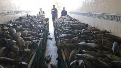 ضبط شاحنة على متنها كيمة من الأسماك الفاسدة في صرمان