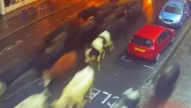 لحظة اقتحام القطيع لشوارع مدينة سومرسيت البريطانية
