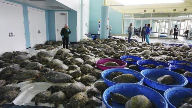 متطوعون في ولاية تكساس الأميركية يضعون السلاحف المتجمدة في أحواض لإنقاذها